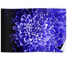 Blue Chrysanthemum Poster