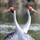 The Brolga's (Grus rubicunda) Pair for Life! by Normf