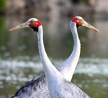 The Brolga's (Grus rubicunda) Pair for Life! by Normf