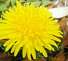 Dandelion by Bethany Anderson