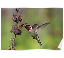 Humming With Fuschia Poster
