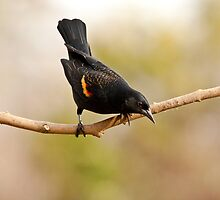 MALE RED-WINGED BLACKBIRD by Sandy Stewart