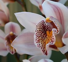 Orchid Cluster by Kezzarama