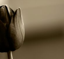 brown tulip by bscull