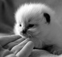 Baby Ragdoll by Patricia F. de Landa