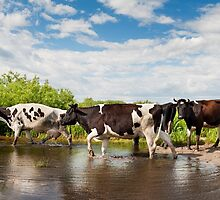 Cows walking across puddle by Arletta Cwalina