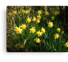 Double Daffodils Canvas Print