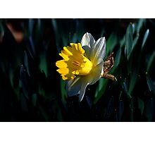 Daffy Morning Photographic Print