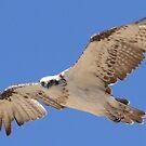 osprey by robinof