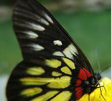 Butterfly by Dentanarts