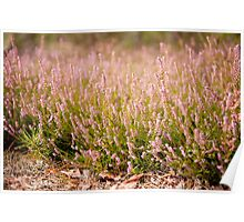 Bunches of wild pink heather  Poster