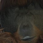 Male Orangutan by Tom Grieve