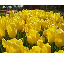 Bright Sunny Yellow Tulips Photographic Print