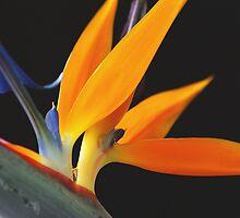 Paradise Orange by bygeorge
