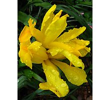 Yellow lemon coloured Iris with raindrops. Photographic Print