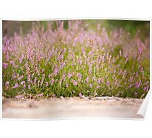 Bunches of pink heather flowering Poster