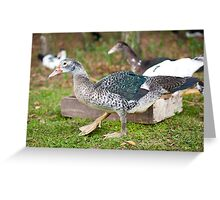 Young Muscovy Duck birds  Greeting Card