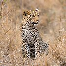 Leopard cub by Erik Schlogl