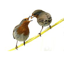 Romantic Robins Photographic Print