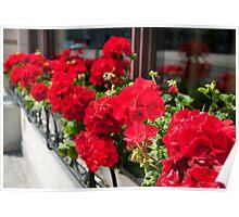 Bunches of vibrant red Pelargonium Poster