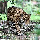 Jaguar by Teresa Zieba