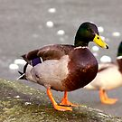 Mallards by Trevor Kersley