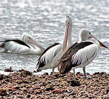 Pelican's by WendyJC