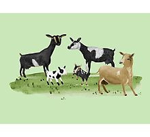 Dairy Goats Photographic Print