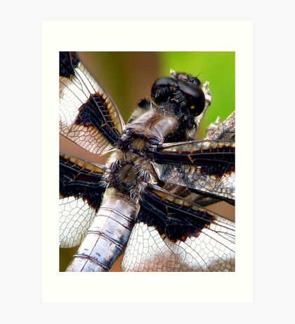 Fuzzy Back Whitetail Dragonfly  Art Print