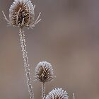 Teasles in frost by Ashley Crombet-Beolens