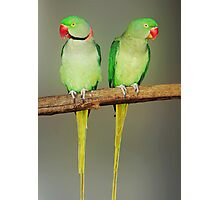 INDIAN RINGNECK PARAKEETS Photographic Print
