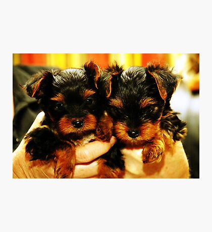 Yorkshire Terrier Puppies Photographic Print