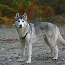 Siberian Husky by Wayne King