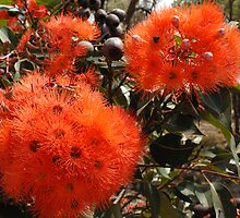 Flowering Gum by Marie Watt