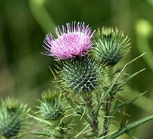 Scotch Thistle by Sprinkla