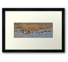 Black winged Stilts, Derby, Western Australia Framed Print