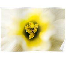 Daffodil I Poster