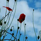 Tall Poppies by Martina Fagan