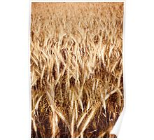 Plenty golden cereal grain ears Poster