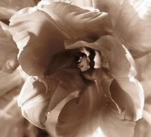 tulip sepia by nancynootje