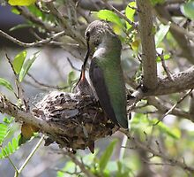 Hummingbird Momma Feeding Her Baby by Ingasi