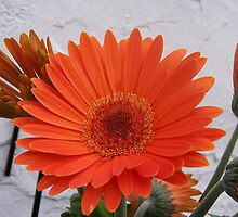 Giant Gerbera by justbyjulie