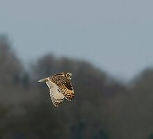 Short eared owl 4 by Ashley Crombet-Beolens