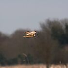 Short eared owl 5 by Ashley Beolens