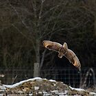 Short eared owl 6 by Ashley Beolens