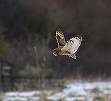 Short eared owl 7 by Ashley Crombet-Beolens