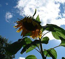 Sunflower by Jessie Scott