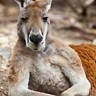 Red Kangaroo by William Bullimore