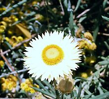 Daisy in Melbourne Zoo garden by Margherita Coppolino
