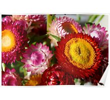 Everlasting multi-coloured daisies Poster
